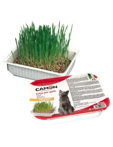 Cat Grass with Wheat Seeds